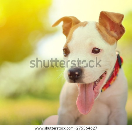 American Staffordshire cute terrier puppy - stock photo