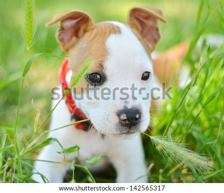 American Staffordshire cute terrier puppy chewing grass - stock photo