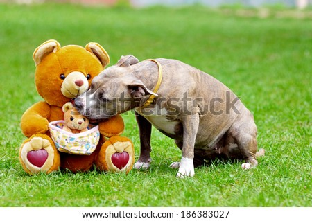 american staffordshire reaching out and kissing a teddy bear - stock photo