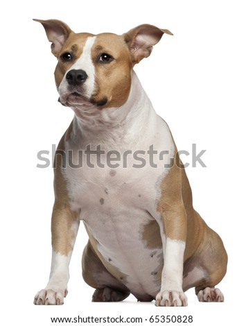 American Staffordshire Terrier, 3 and a half years old, sitting in front of white background - stock photo