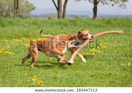 American staffordshire terrier and german boxer playing together - stock photo
