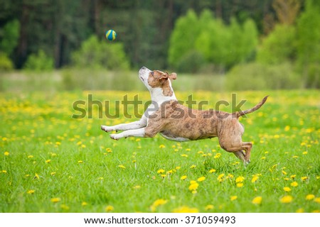 American staffordshire terrier dog playing with a ball in summer - stock photo