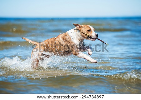 American staffordshire terrier dog playing with a stick on the beach  - stock photo