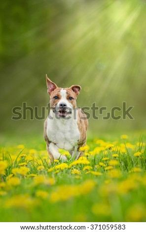 American staffordshire terrier dog running in dandelions in sun rays - stock photo