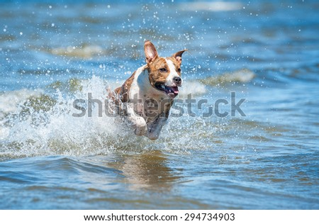 American staffordshire terrier dog running in water among the waves of the sea - stock photo