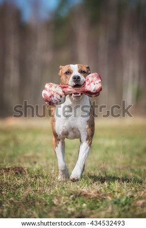 American staffordshire terrier dog running with a bone - stock photo