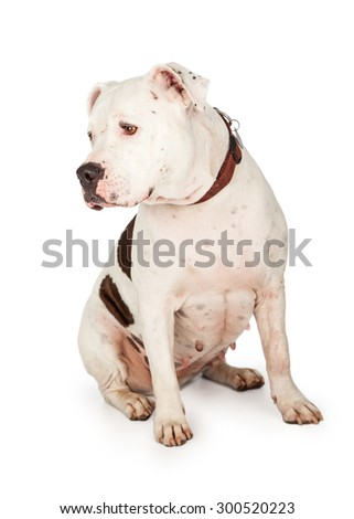 American Staffordshire Terrier Dog sitting at an angle. Dog's head is turned off to the side so profile of head is visible.  - stock photo
