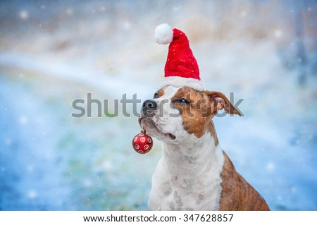 American staffordshire terrier dog with a santa claus hat and a christmas ball sitting outdoors in winter - stock photo