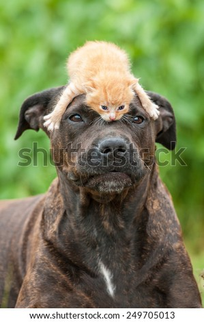 American staffordshire terrier dog with little kitten on its head - stock photo