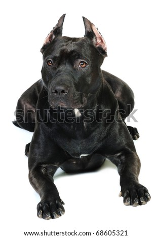 American Staffordshire terrier  in front of a white background. studio shot - stock photo