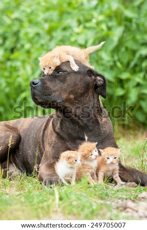 American staffordshire terrier mother with little kittens - stock photo