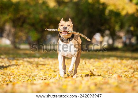 American staffordshire terrier playing with a stick in the park in autumn  - stock photo