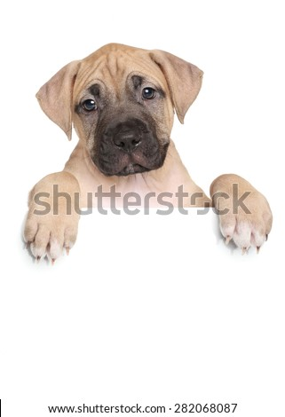 American Staffordshire terrier puppy above banner isolated on white background - stock photo