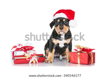 American staffordshire terrier puppy dressed in a christmas hat sitting among the presents - stock photo