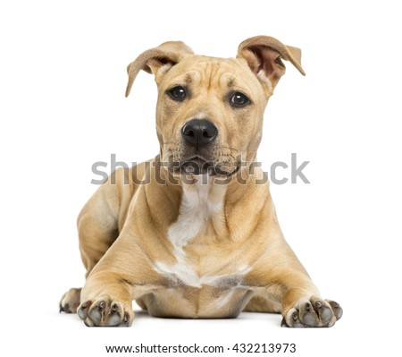 American Staffordshire Terrier puppy lying down, isolated on white - stock photo