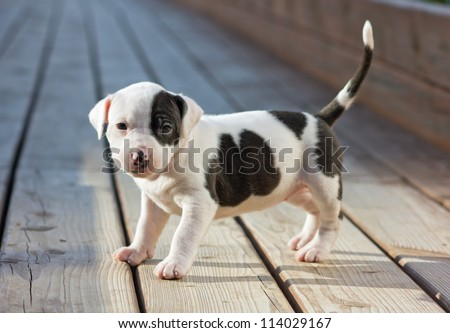 American Staffordshire terrier puppy on wooden boards - stock photo