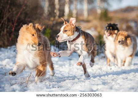 American staffordshire terrier puppy playing with rough collie puppies - stock photo