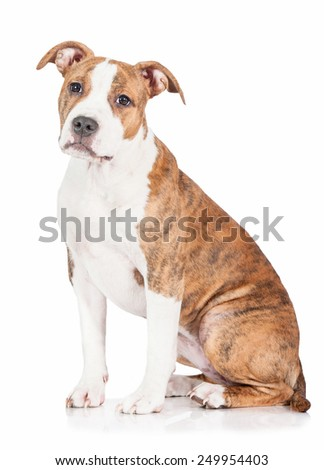 American staffordshire terrier puppy sitting - stock photo