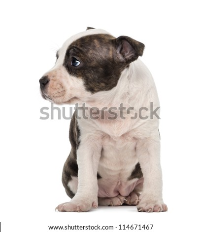 American Staffordshire Terrier Puppy sitting and looking away, 6 weeks old, against white background - stock photo