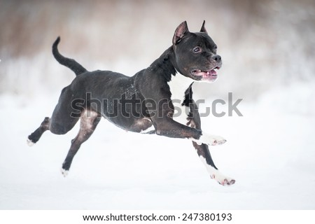 American staffordshire terrier running in winter - stock photo