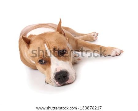 American Staffordshire terrier studio - stock photo