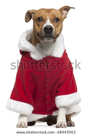 American Staffordshire Terrier wearing Santa outfit, 3 years old, sitting in front of white background - stock photo