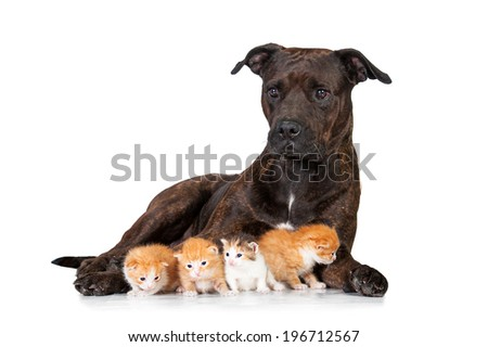 American staffordshire terrier with little kittens - stock photo