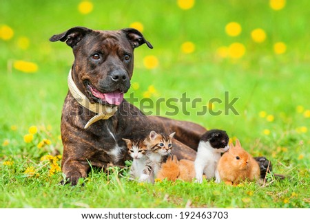 American staffordshire terrier with little kittens and rabbits lying on the field with dandelions - stock photo