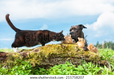 American staffordshire terrier with little rabbits and cat outdoors - stock photo