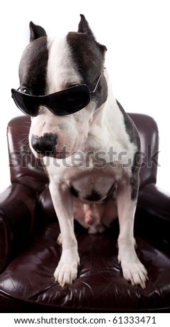 American staffordshire Terrier With sunglasses ,on a armchair ,isolated on white,looking up - stock photo