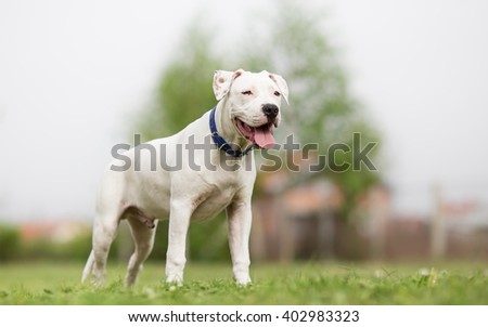 American Staffordshire Terrier young dog - stock photo