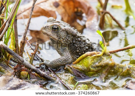 American Toad in Water - stock photo