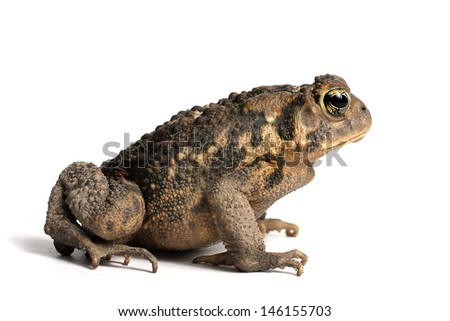 American Toad on a white background (Bufo americanus) - stock photo