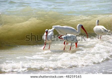 American White Ibis feeding ocean waves Sanibel Florida - stock photo