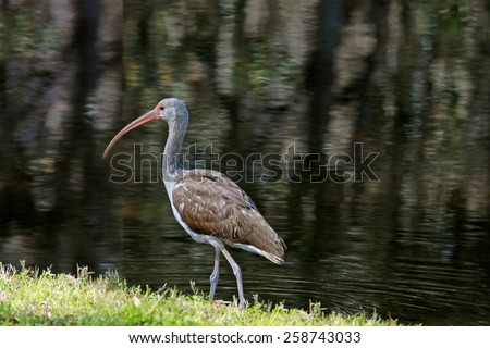 American white ibis strolls by the shore - stock photo