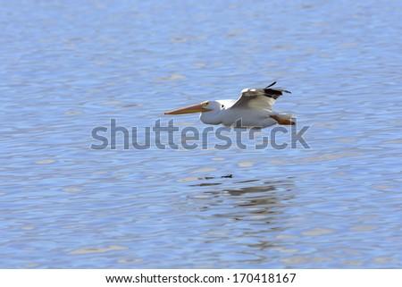 American White Pelican flying in Salton Sea, California. - stock photo