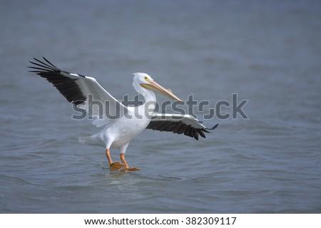 American White Pelican Landing at Goose Island Marina in Lamar, Texas - stock photo