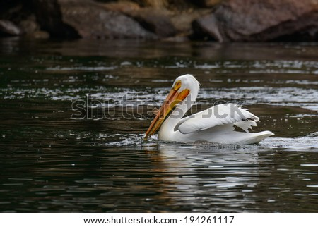 American White Pelican with Fish - stock photo