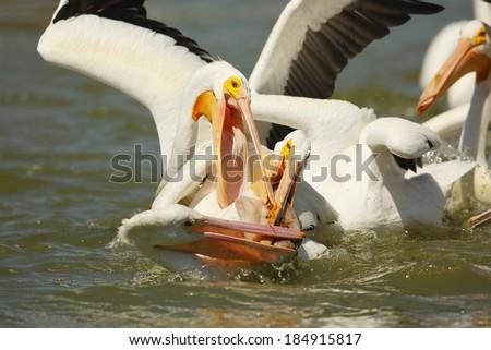 American White Pelicans Fishing - stock photo