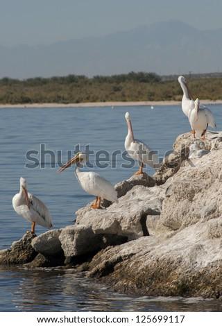 American white pelicans,the Salton sea - stock photo