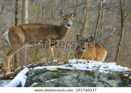 American White Tail Deer grazing in winter forest - stock photo