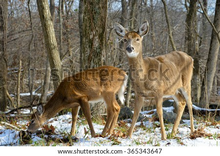 American White Tail Deer in snow forest - stock photo