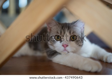 American Wirehair cat sitting curiously under the table - stock photo