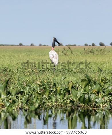 American Wood Stork (Mycteria americana) in the El Cedral - Los Llanos, Venezuela, South America - stock photo