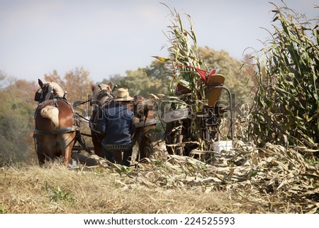 Amish farmer harvesting corn with a team of horses.  Autumn in Ohio - stock photo