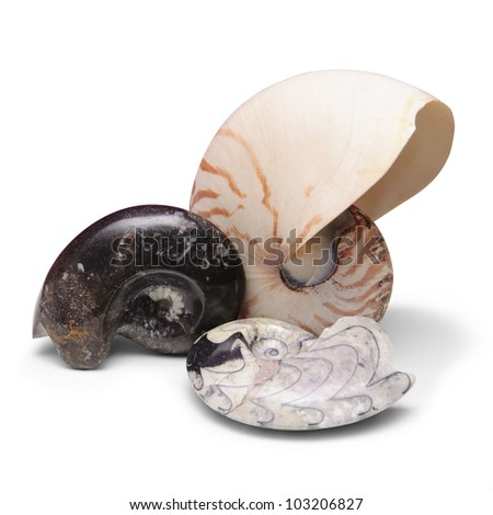 Ammonite fossils and nautilus shell on white background - stock photo