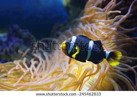 Amphiprion polymnus fish (black and white form), underwater photography - stock photo