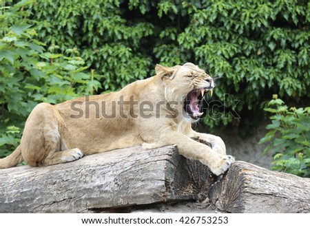 Amsterdam, Holland - May 2015: A lioness in a zoo - stock photo