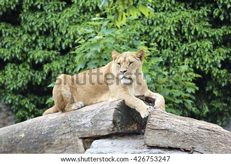 Amsterdam, Holland - May 2015: A lioness on a tree  - stock photo