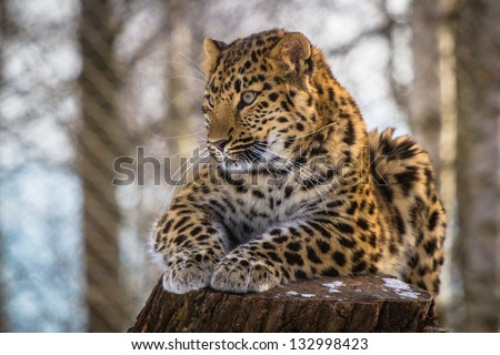 Amur leopard resting on the branch - stock photo